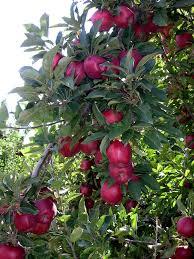 red delicious apple tree растения pinterest apples fruit