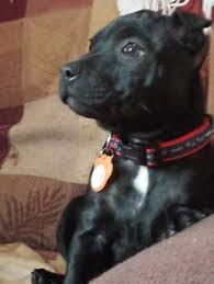 american pitbull terrier uk law woman checks boyfriend u0027s phone finds footage of him having