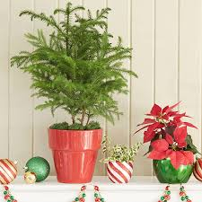 christmas plant top flowers plants