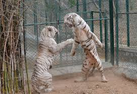 do not white tiger angry