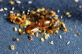 Living With Bed Bugs Bed Bug Pictures Visually Identify Bed Bugs Pure Environmental