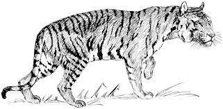 snow tiger coloring page white tiger clipart clipartxtras