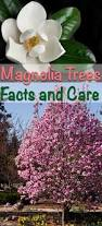 magnolia trees facts and care magnolia landscaping and learning