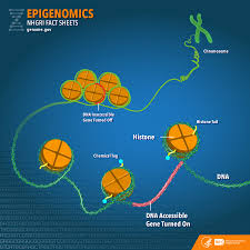 What Is Map Testing Epigenomics Fact Sheet National Human Genome Research Institute