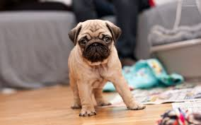 pug puppies wallpaper wallpapers browse