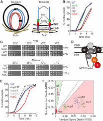 the nucleoporin nup2 contains a meiotic autonomous region that