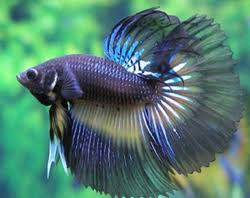ornamental fish in hyderabad telangana sajawati machhliyan