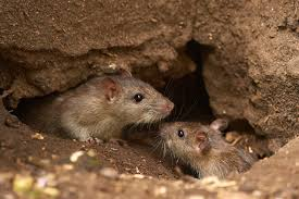 how to tell the difference between rats and mice