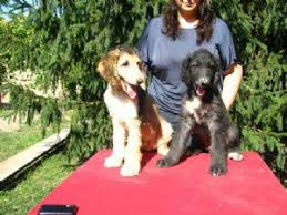 afghan hound puppies california 17 photos of afghan hound for sale uk u2022 petmehome