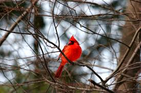 cardinal bird home decor learn how to attract cardinals to your yard