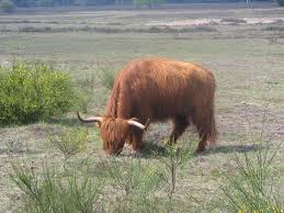 picture 8 of 8 highland cattle bos taurus pictures u0026 images