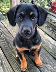 belgian shepherd x rottweiler mutts are my kryptonite rottie shepherd mix critters