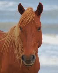 wild mustang mare on corolla beach nc wild horses in nc