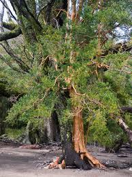 cool trees lago yelcho u2013 ventures and adventures