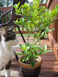 caring for potted citrus trees gettin fresh