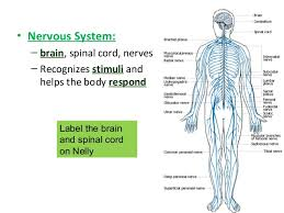 Human Anatomy And Body Systems Human Body Systems General Overview