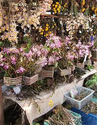 orchids for sale illegal trade reveals unknown orchids