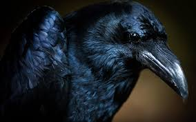 halloween background crow 19 reasons why the crow should be your new favorite animal