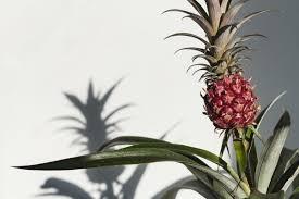 une plante dans une chambre dormir avec la plante de l ananas dans sa chambre réduirait les