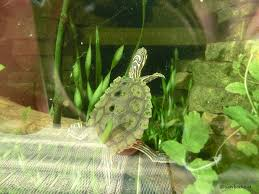 Ringed Map Turtle Graptemys Nigrinoda Schwarzknopf Höckerschildkröte Sawbacks At