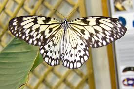 file black and white butterfly 5865169723 jpg wikimedia commons
