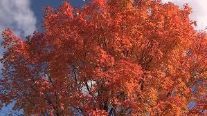 waterloo ontario canada october 2015 bright orange tree peak