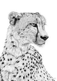 cheetah sketch u2013 stuart hogton