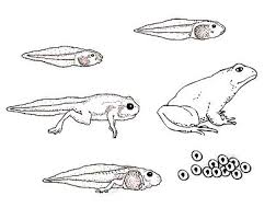 frog life cycle craft frogs life science and