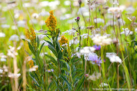 49 best california native plants wild flowers in wild meadows