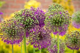 allium flowers how to make garden alliums empress of dirt