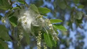 Cottonwood Tree Flowers - close up of some cottony seeds on a cottonwood poplar tree