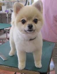 summer haircut pomeranian 25 pomeranian haircuts for dog lovers hairstylec