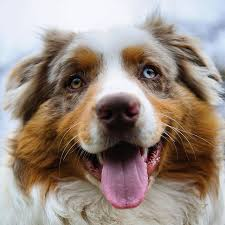 royal 8 australian shepherds fidotv channel u2013 all dogs all day entertainment for dog lovers