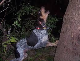 bluetick coonhound climbing tree dutch hollow bluetick kennels