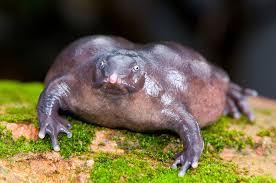 weird purple frog seduces females from underground u2013 national