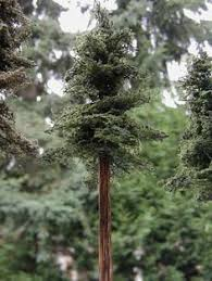 pine trees are found all the world which makes them a great