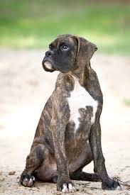 3 month boxer dog pets animals mostly boxers kombatkamera