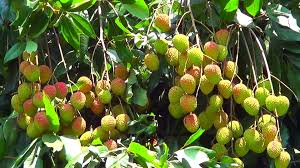 lychee fruit inside most popular fruit in the world lychee litchi youtube