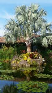 370 best palms images on pinterest palms palm trees and plants