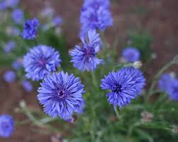bachelor buttons bachelor button blue jubilee gem organic adaptive seeds