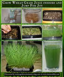 organic wheat seed grow wheatgrass flour grain bread