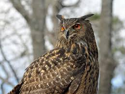 birds of the world owls