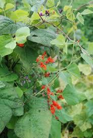 23 best edible ornamentals images on edible garden