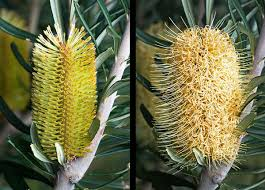 native plants tasmania banksia marginata wikipedia