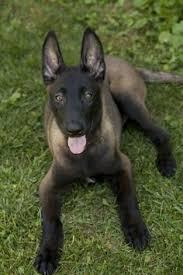 belgian sheepdog of america native american indian dog aka naid intelligent hypoallergenic