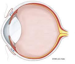 Anatomy Of A Cats Eye Stock Veterinary Medical Illustration Of Feline Eye Anatomy