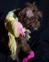 affenpinscher skin problems a special dog who almost lost her ear now needs a second chance