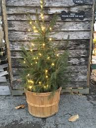 potted christmas tree living potted christmas trees modern homestead