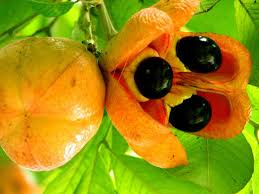 Ackee Fruit Tree - 6 national symbols every jamaican should know
