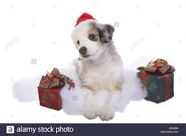 australian shepherd gifts cute christmas miniature australian shepherd puppy wearing santa